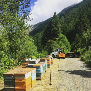 Moving bees to the mountain for fireweed