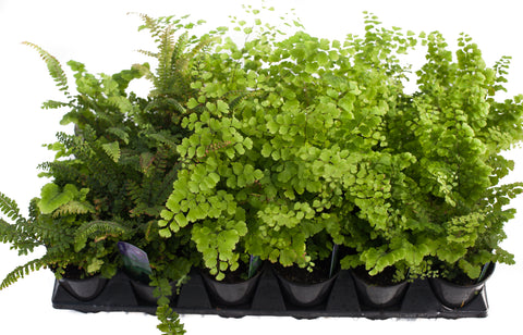 "3.5"" Assorted Maidenhair Fern"