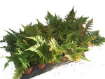 "3.5"" Autumn Fern"