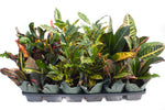 "3.5"" Croton - Assorted"