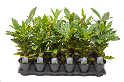 "3.5"" Croton - Gold Dust"