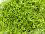 "3.5"" Golden Moss Fern"