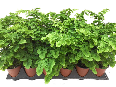 "3.5"" Maidenhair Pacifica Fern"