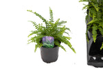 "3.5"" Lemon Button Fern"