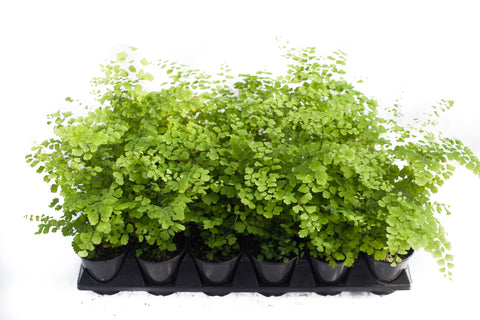 "3.5"" Maidenhair Fern - Fragrans"