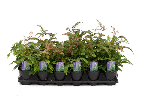"3.5"" Maidenhair Rosy Fern"