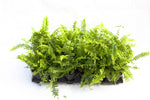 "3.5"" Boston Fern"