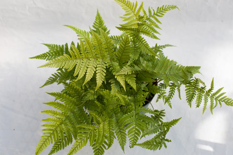"6"" Autumn Fern Hanging Basket"