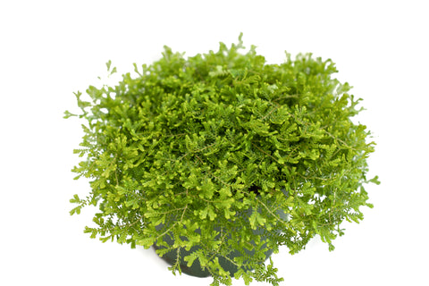 "6"" Golden Moss Fern"