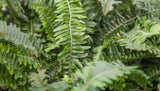 "6"" Kimberly Fern"