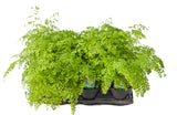 "6"" Maidenhair Fern - Fragrans"