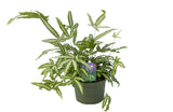 "6"" Ribbon Fern - Albo-Lineata"