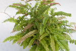 "6"" Assorted Fern Hanging Basket"