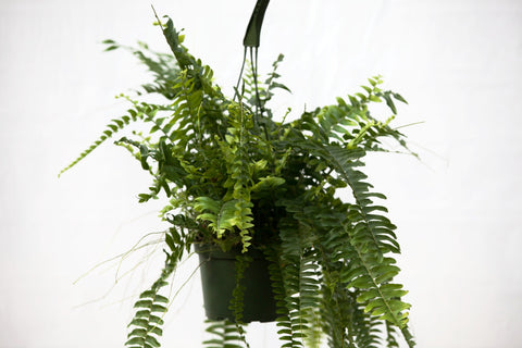 "6"" Boston Fern Hanging Basket"