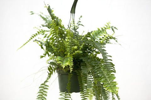 "6"" Nevada Fern Hanging Basket"
