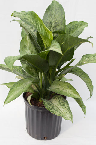 "10"" Chinese Evergreen"