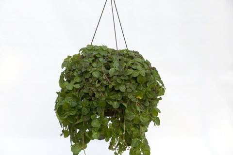 "10"" Creeping Charlie Hanging Basket"
