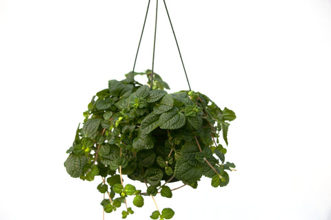 "6"" Creeping Charlie Hanging Basket"