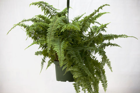 "6"" Green Fantasy Fern Hanging Basket"
