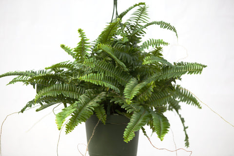 "6"" Kimberly Fern Hanging Basket"