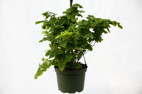 "6"" Maidenhair Fern Hanging Basket"