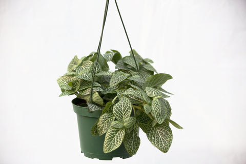 "6"" Fittonia Hanging Basket"