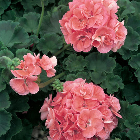 "10"" Geranium Hanging Baskets"