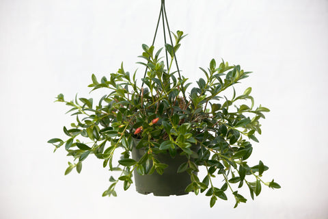 "6"" Goldfish Hanging Basket"