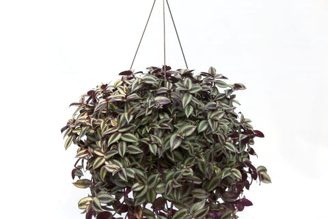 "10"" Wandering Jew Hanging Basket"