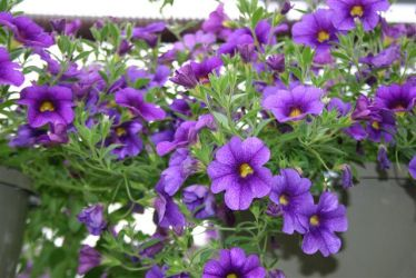 Calibrochoa - Million Bells