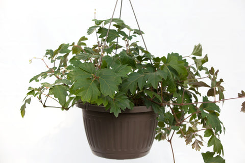 "10"" Oak Leaf Ivy Hanging Basket"