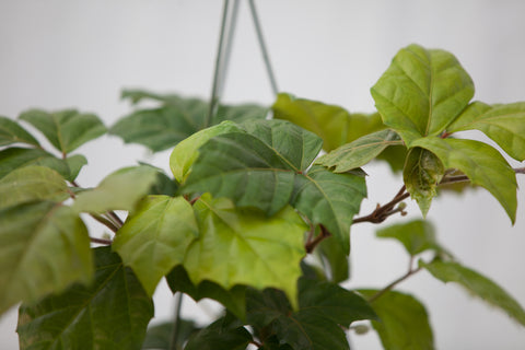 "10"" Grape Ivy Hanging Basket"