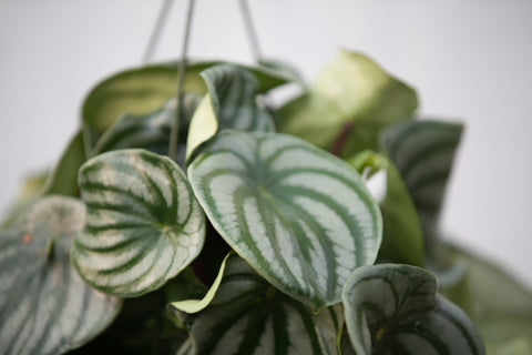 "10"" Peperomia Watermelon Hanging Basket"