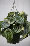 "6"" Pepperomia Hanging Basket"