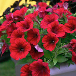 "10"" Petunia Hanging Baskets"