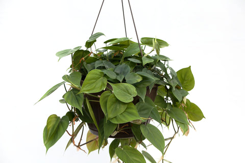 "10"" Philodendron Hanging Basket"