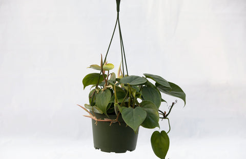 "6"" Philodendron Hanging Basket"