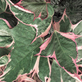 "4"" Potato Vine (Ipomoea)"