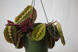 "6"" Maranta Prayer Plant Hanging Basket"