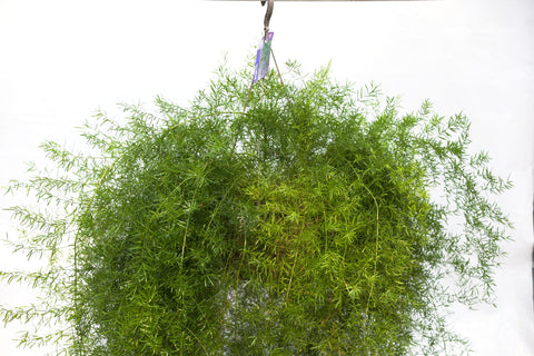"10"" Sprengeri Fern Hanging Basket"