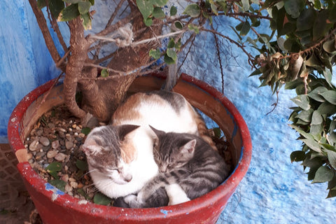 cats in large pot in Rabat Morocco