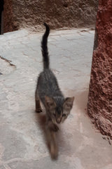 Marrakesh street cat