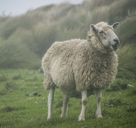 A fluffy sheep with a wool coat