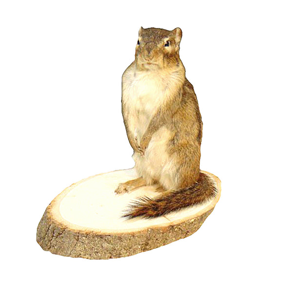 Standing Chipmunk Professional Taxidermy Animal Statue Home or Office Gift