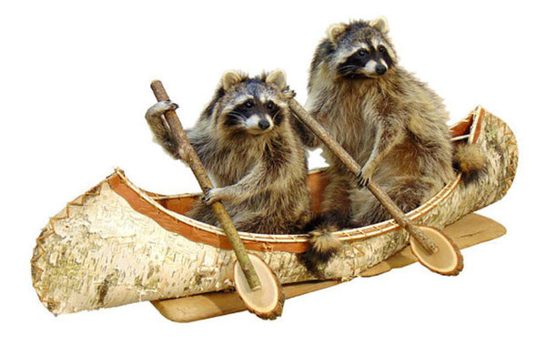 Double Canoeing Raccoons Professional Taxidermy Mounted Animal Statue Home or Office Gift