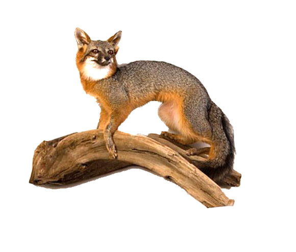 Standing Grey Fox Professional Taxidermy Mounted Animal Statue Home or Office Gift