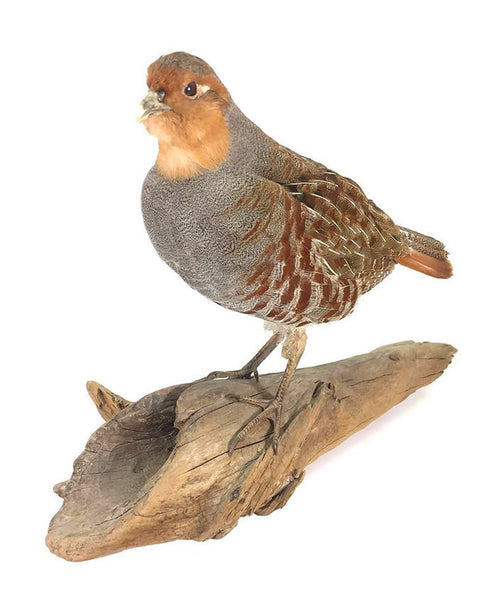 Hungarian Partridge Bird Taxidermy Wall Mounted Animal Statue Gift
