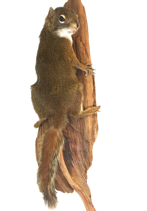 Pine Squirrel On Tree Professional Taxidermy Animal Statue Home or Office Gift