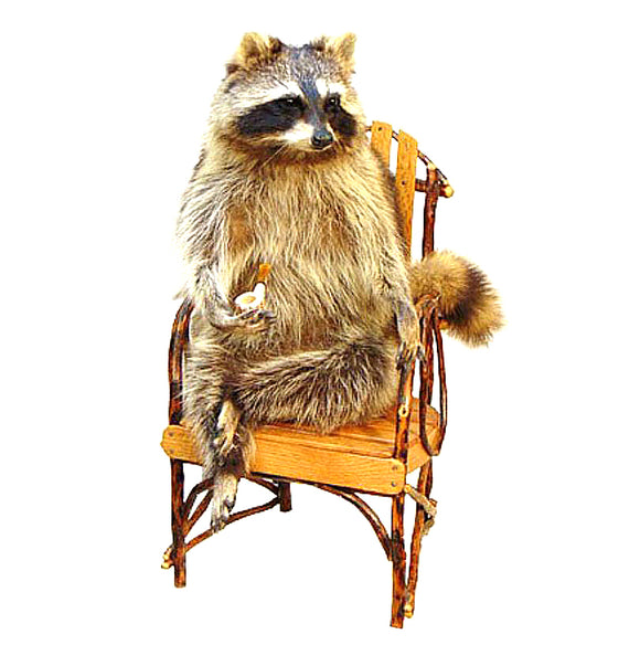 Seated Raccoon Professional Taxidermy Mounted Animal Statue Home or Office Gift