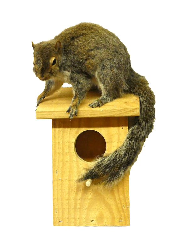 Squirrel On Birdhouse  Professional Taxidermy Mounted Animal Statue Home or Office Gift